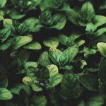 Basil Compantion Plants Original Mothers Company