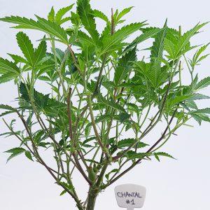 Chantal Ornamental Cannabis Clones Original Mothers Company