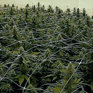 Harlequin CBD/Hemp Seeds OMC