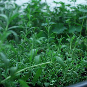 Lavender Companion Plants Original Mothers Company