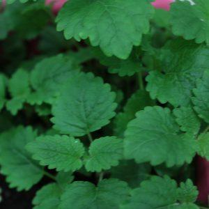 Lemon Balm Companion Plants Original Mothers Company