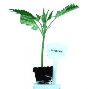 Blueberry Cannabis Clones Original Mothers Company