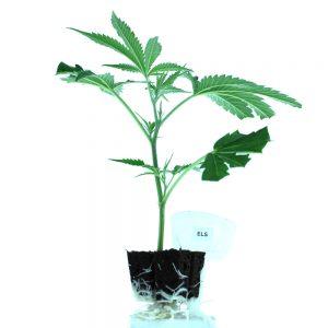 Els Cannabis Clones Original Mothers Company