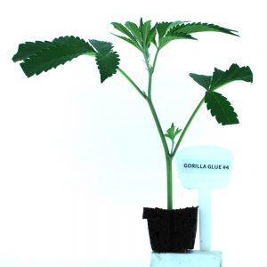 Gorilla Glue #4 Cannabis Clones Original Mothers Company